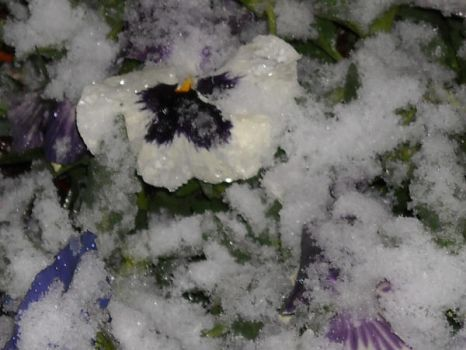 Floral Frost by SybilThorn