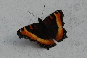 Stock 305 - Butterflly by pink-stock