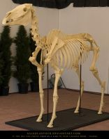 Horse Skeleton 1 by SalsolaStock