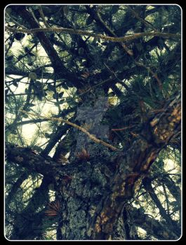 :.Pine Sap Height.: by Cacilia