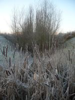 Winter Reeds 2 by Cat-in-the-Stock
