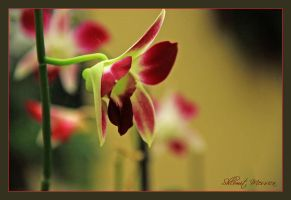 Orchid 6 by ShlomitMessica