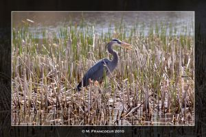 Great Blue Heron by sicmentale