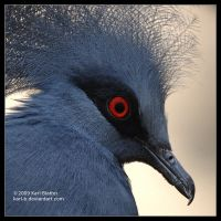 Crowned Pigeon by Karl-B