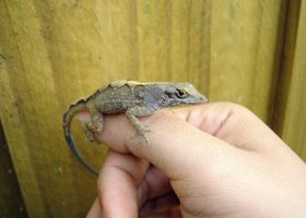 Lizard on my thumb by ceemdee
