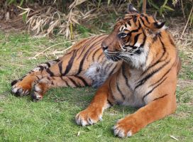 Wild animal 317 - Bengale tiger by Momotte2stocks