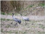 Cranes... husband and wife, I think. by Yancis