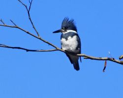Belted Kingfisher Male by swashbuckler