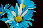 Blue Flowers by estjohn