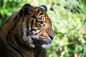 Sumatran tiger 3 by Sabbie89