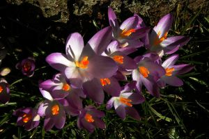 Crocus Fire by EarthHart
