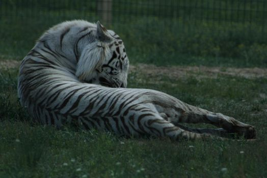 White Tiger 17 by CastleGraphics