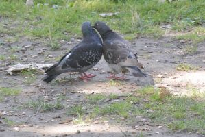 Giving A Little Peck, Pigeon Love 2 by Miss-Tbones