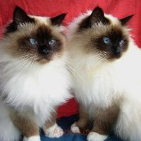 I love Birmans by Kokako