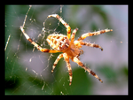 Araneus diadematus by Blue-Koi