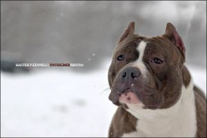 AMERICAN BULLY 011009 by coolayo