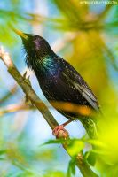 Common Starling by AlecsPS