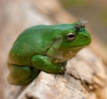 The Frog and The Fly by Saint-Whitlock