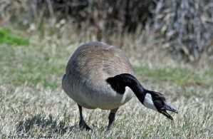 Foraging Goose II by hunter1828