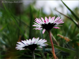 ...the first flowers of this year's spring... by lisztikriszti