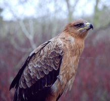 Tawny Eagle by KatiBear
