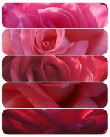 All the pretty red roses by assimilated