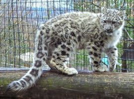 Snow Leopard Stock 30: Cub by HOTNStock