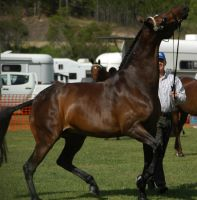 Bay-warmblood-10 by tbg-stock-images
