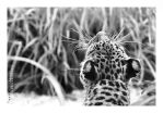 Spots - Lemur Leopard by JRose-Photography