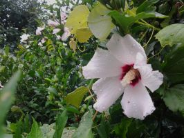 Rose of Sharon 2 by GUDRUN355