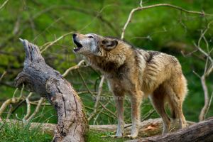 Amande howling by moem-photography