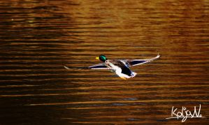 Duck flying by KoljaNa