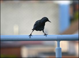 Starling by FrankAndCarySTOCK