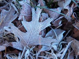 Frosted leaves by Amiable2