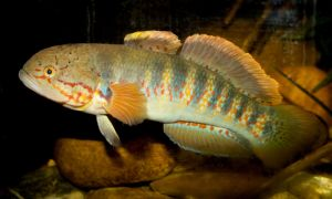 Sleeper goby by Parides