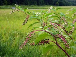 Pokeweed Bounty by Mykhal25