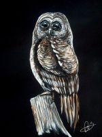 Barred Owl by Bexara