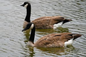 Canada Geese 4107 by DG-Photo