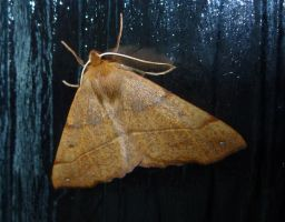 Male Feathered Thorn Moth (Colotois pennaria) 1 by SrTw