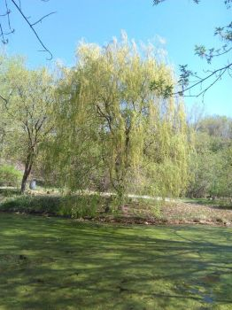 .:Weeping Willow Tree:. by Soniclifetime