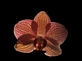 Back lit Orchid by photographyflower