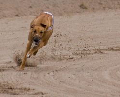 Greyhound racing by msun