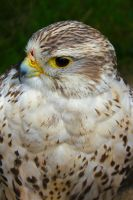 Hawk by Balu90