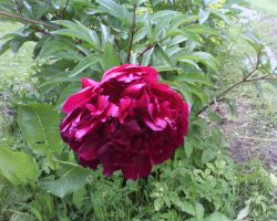 Red peony by Dhacxaahsvost