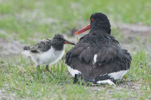 Any room for me -  Oystercatcher by Jamie-MacArthur