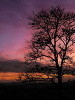 Sycamore sunset by Dulaich