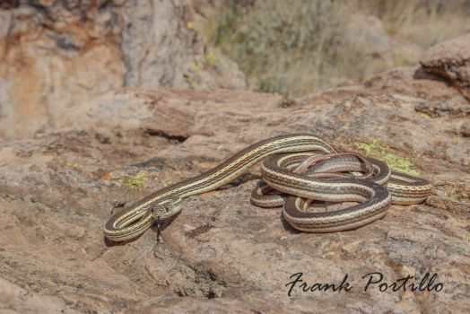 Striped whipsnake by achillesbeast