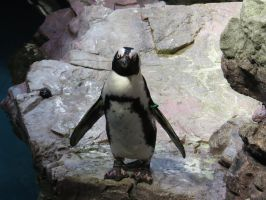 African Penguin Stock 5477 by sUpErWoLf--StOcK