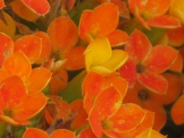 233 Kalanchoe by crazygardener
