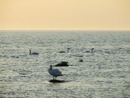 Swans in the Sea by panthera-lee